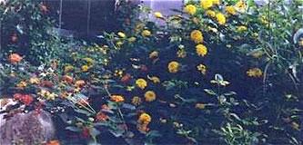 Lantana inside Conservatory